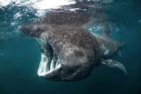 basking shark oceana