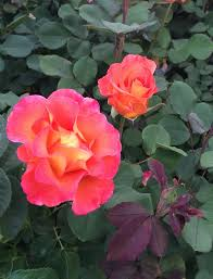 mardi gras roses 153 best a by any other name our yard s roses images on