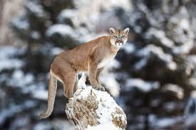 Colorado wild animals images Us will temporarily halt use of cyanide bombs to kill colorado jpg