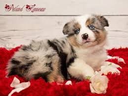 australian shepherd dog for sale australian shepherd puppies for sale say hello to your new