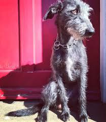 bedlington terrier stud beautiful beddywhippet whippet x bedlington terrier pooches