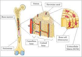 Appendicular Skeleton Worksheet Skeleton Kaiserscience