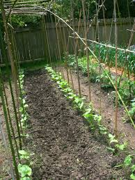 sustainable bean poles squash practice