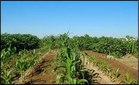 irrigated corn cotton corn