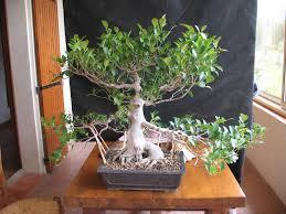 bonsai saule pleureur pour vous faire découvrir ma collection de bonsaïs papybonsais