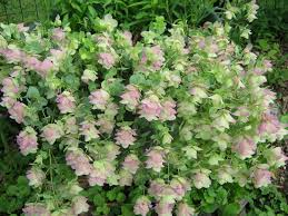 photo of the entire plant of ornamental oregano origanum kent