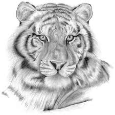 tiger sketch by n00dleincident on deviantart