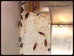 blatte de cuisine blatte de cuisine photo free punaises de lit cafards blattes puces