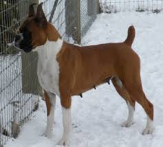 boxer dog price boxer puppy breeders in montana