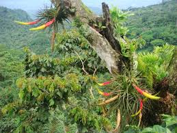 Rust Disease On Plants - coffee farm rust fungus for rising coffee prices