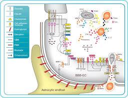 Blood Brain Barrier Anatomy How Do Immune Cells Overcome The Blood U2013brain Barrier In Multiple