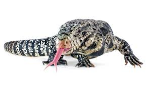 tegu lizards are taking over the florida everglades miami new times