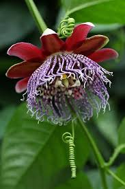 best 25 passion flower ideas on pinterest stigma flower