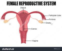 Female Anatomy Diagram For Kids Female Reproductive System Diagram Labeled For Kids Blank Diagram