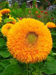 teddy sunflowers 182 best sunflowers images on sun flowers flowers