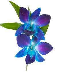 blue orchids blue dendrobium orchid boutonniere royer s flowers and gifts