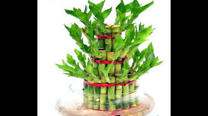 how to grow lucky bamboo lucky bamboo care tips