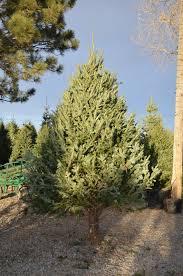 christmas trees christmas trees heidrich u0027s colorado tree farm nursery