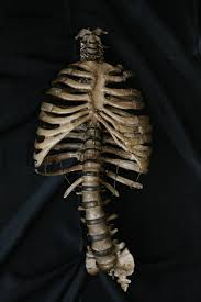 Halloween Skeleton Prop by Props For Rent U0026 Portfolio Prop Bones Natural Ribcage Prop 100