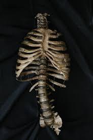Skeleton Halloween Prop Props For Rent U0026 Portfolio Prop Bones Natural Ribcage Prop 100