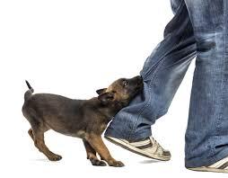 belgian sheepdog dog rescue belgian shepherd puppy biting leg against white background