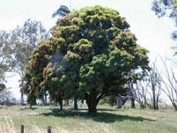 Mango Boom mangifera indica of mango herkomst soorten mango vermeerderen