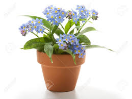Small Beautiful Pics Forget Me Not Small Beautiful Flowers In Flower Pot Stock Photo