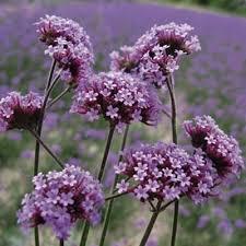verbena flower verbena bonariensis finesse harris seeds