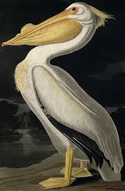american white pelican painting by audubon