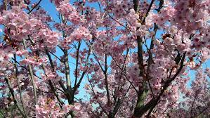 plum flowers in beautiful decorative tree stock