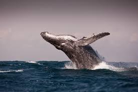 Whale Humpback Whales Discovered In U0027super Groups U0027 Time Com