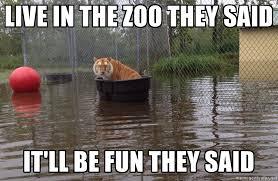 Funny Tiger Memes - contemplating tiger imgur