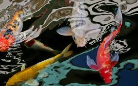 fish carps water red animal asian yellow wallpapers for desktop