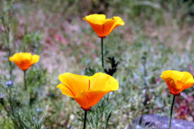 file california poppy in san francisco 1 jpg wikimedia commons
