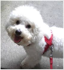 bichon frise intelligence bichon frise breed and photos and videos list of dogs breeds