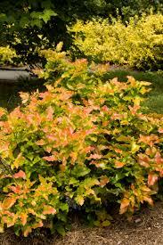plants native to oregon orangee flame oregon grape holly monrovia orangee flame oregon