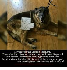 Funny German Shepherd Memes - 25 best memes about german shepherd german shepherd memes