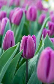 White Flag With Green Leaves Tulip Purple Flag Tulips Pinterest Flowers Spring Bulbs And