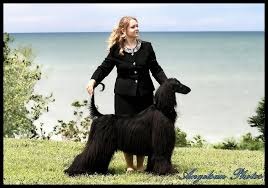 afghan hound puppies youtube angelsun afghan hounds about us