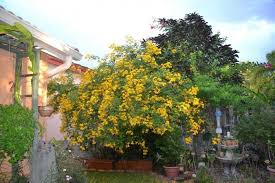 lovely outdoor cassia trees wearefound home design