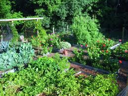 how i plant and grow leeks