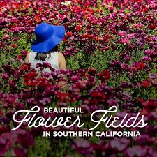 flower places california flower fields you must visit this