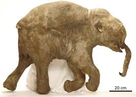anatomy death preservation woolly mammoth mammuthus