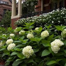hydrangea white hydrangea macrophylla blushing white flower farm