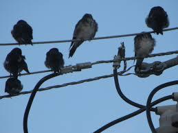 blue and white swallow marnix u0027s bird gallery