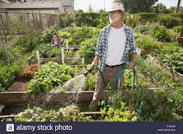 man watering vegetable garden with hose stock photo royalty free