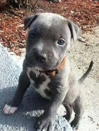 american pitbull terrier merchandise https www redbubble com people animalinstinct portfolio amazing