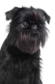 affenpinscher and chihuahua the dog trainer help my dog bit my baby quick and dirty tips