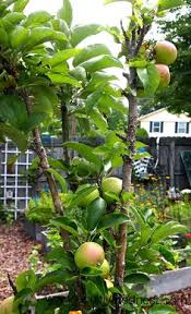 Small Trees For Backyard by An Apple Tree That Only Grows 2 U0027 Wide And 8 U0027 Tall Perfect For A