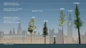 earth tasmania s ash trees may be world s tallest